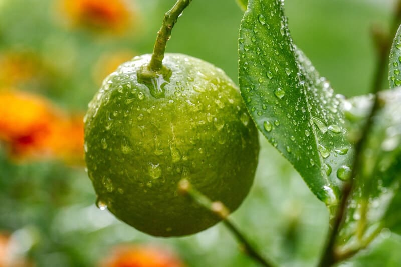 Lemon Fruit on Tree