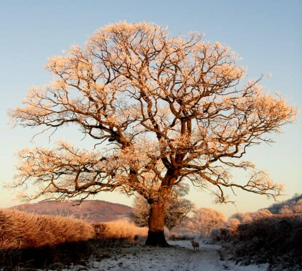 Path Oak at Y Gaer Roman Fort in the Brecon Beacons by Kira Nash
