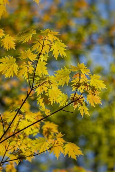 Yellow leaves of acer japonicum in spring