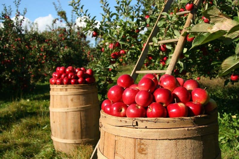Barrells of apples in an orchard