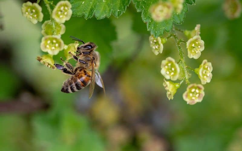 Bee collecting pollen from the flowers of a fruit tree