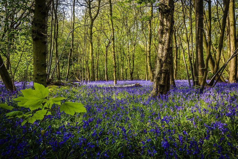 Bluebell flowers growing on forest floor