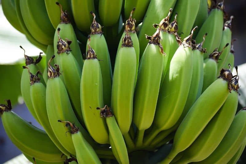 Bunch of Bananas growing on the plant
