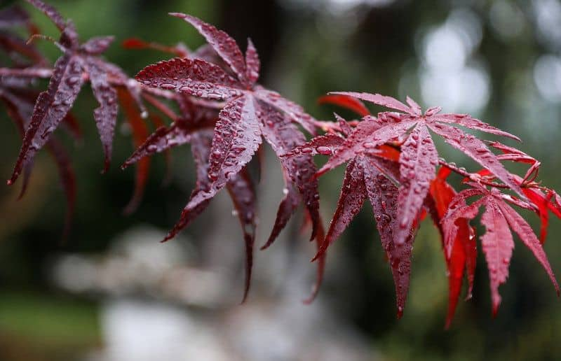 Red-colored maple leaf