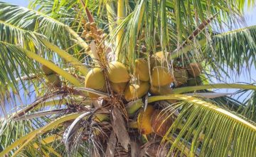 What is the Difference Between a Palm Tree and a Coconut Tree?
