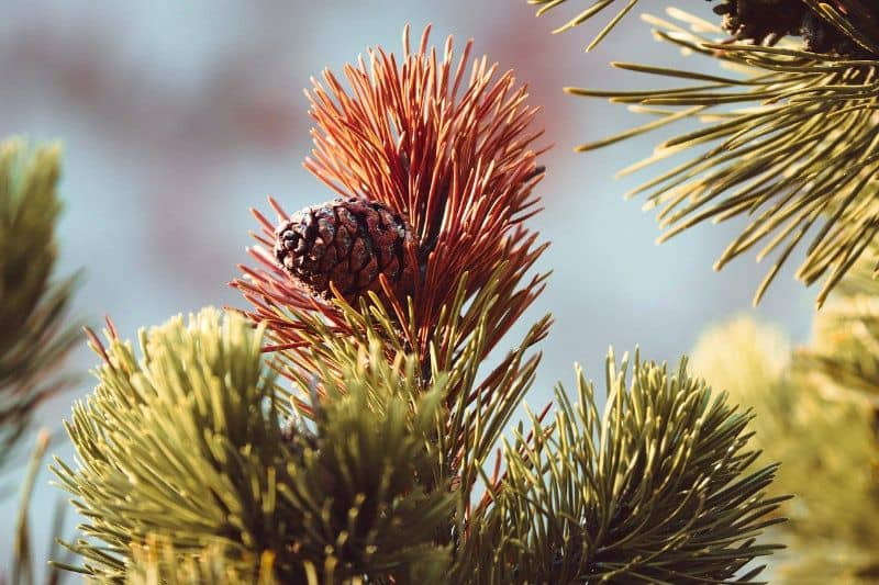 Winter brown needles and pine cone