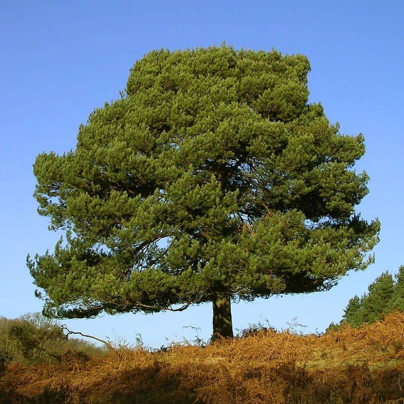 Where do Pine Trees Grow? - Scots Pine Tree growing on a hill