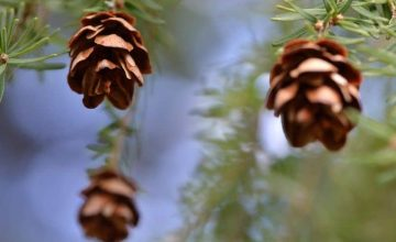 How Do Pine Trees Reproduce? (Full Reproduction Cycle)